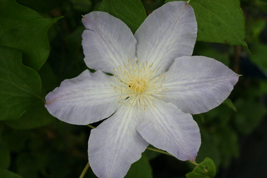 Clematis 'BABY DOLL' (Zobadol)