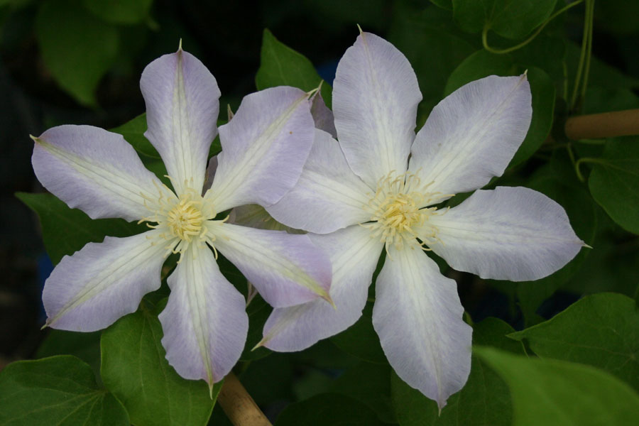 Clematis Baby Doll 2