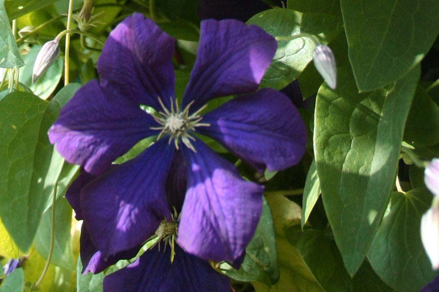 Clematis Blue Belle 1