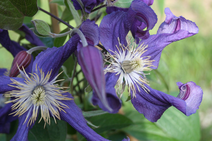 Clematis Div. 'Blue Pirouette'