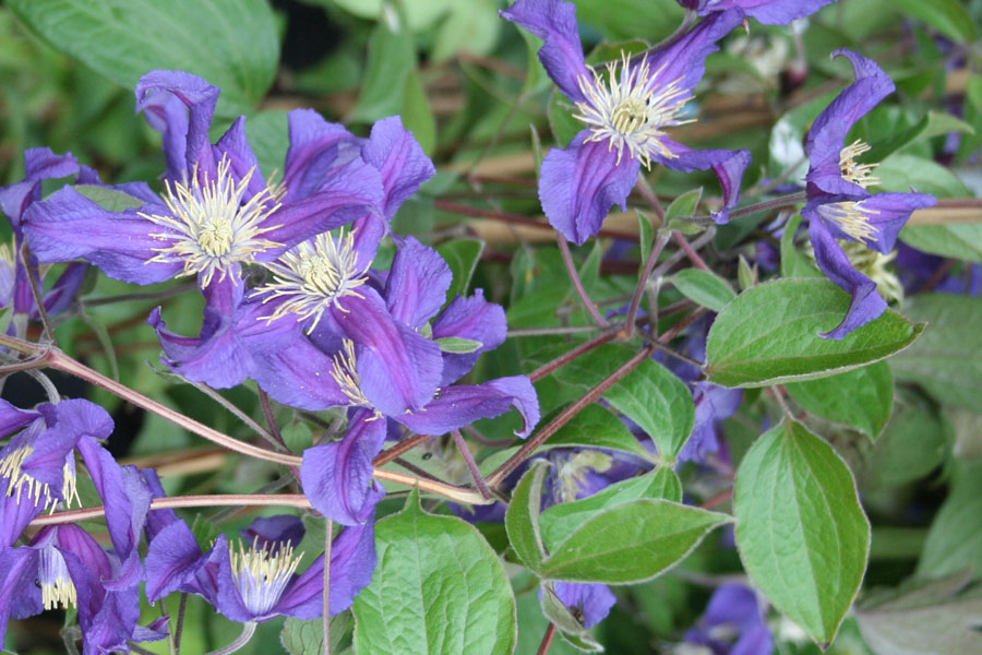 Clematis Blue Pirouete 2