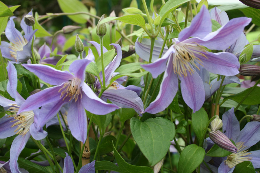 Clematis Blue River 2