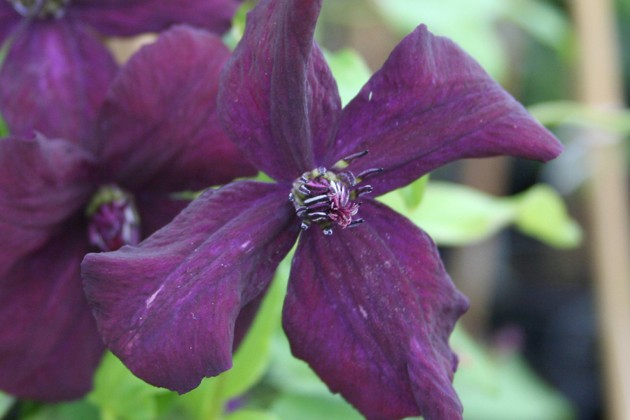 Clematis Vit. 'Dark Eyes'