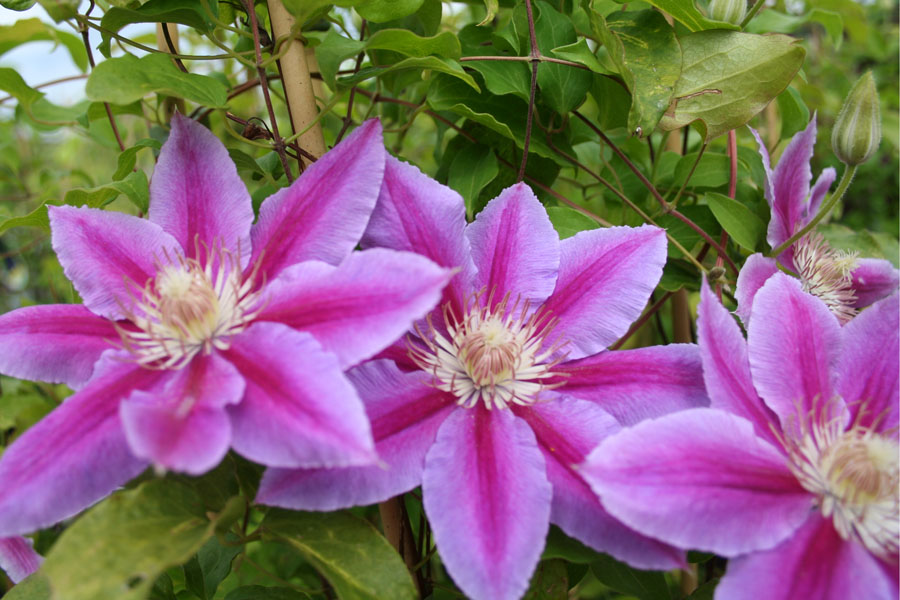 Clematis Dr.Ruppel 2