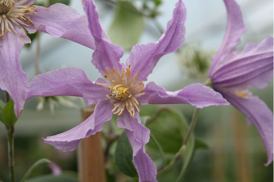 Clematis East River 3