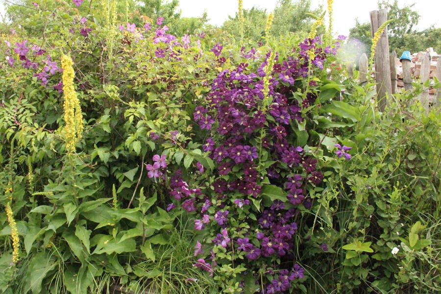 Clematis Etoile Violett3