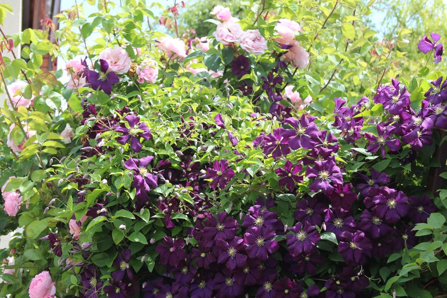 Clematis Etoile Violett4