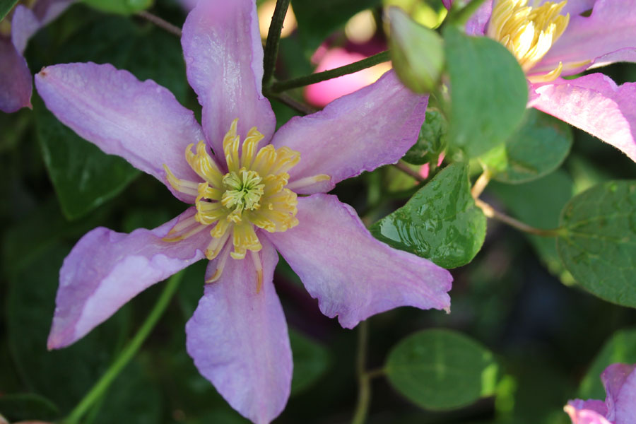 Clematis 'EXCITING' (Zoexci)