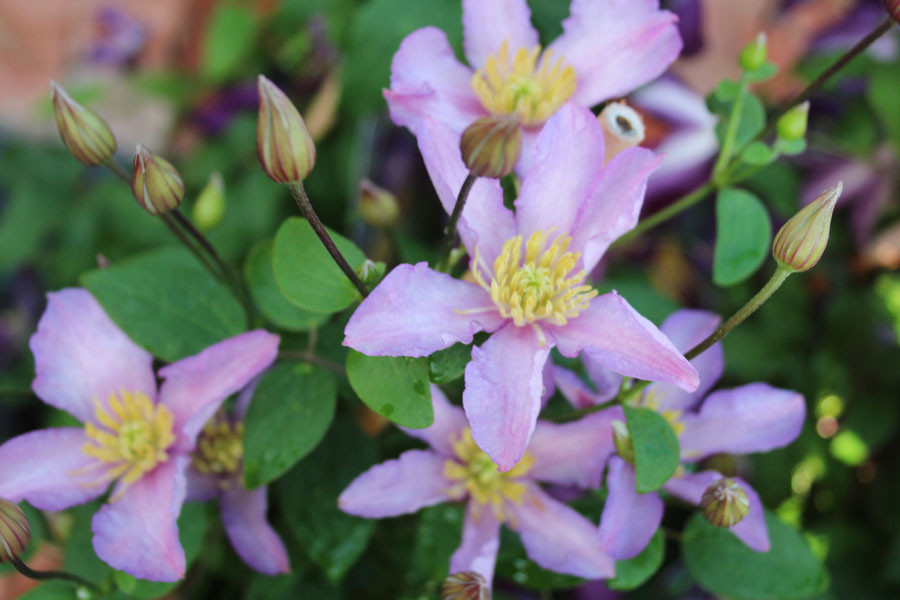 Clematis Exciting 2
