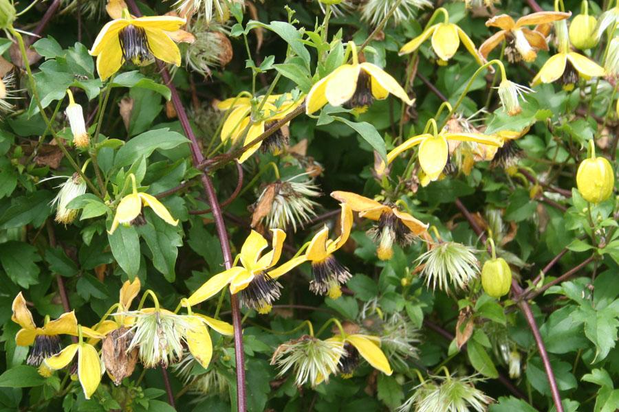 Clematis Golden Harvest 2