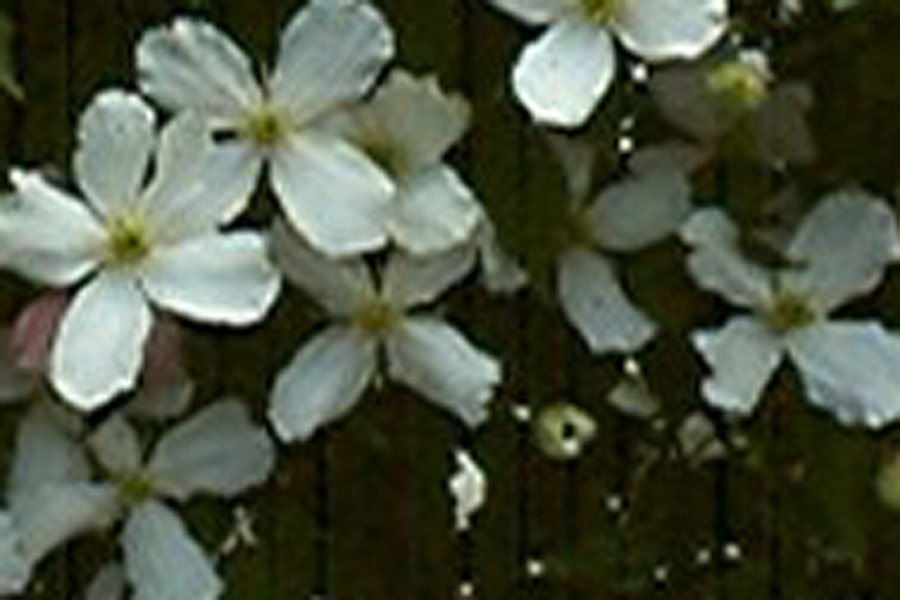Clematis Montana 'Grandiflora Alba'