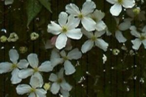 Clematis Grandiflora 2