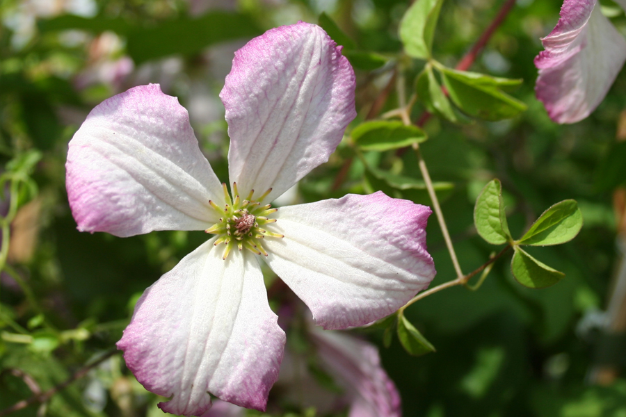Clematis Iam A Lady Q 1