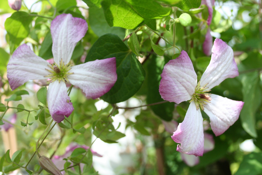 Clematis Iam A Lady Q 2