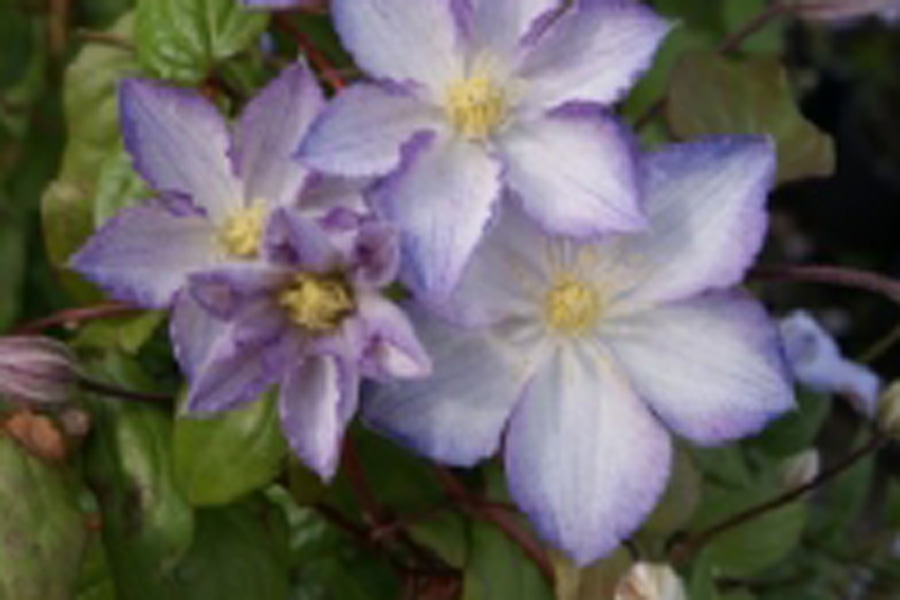 Clematis 'LUCKY CHARME' Zo09067