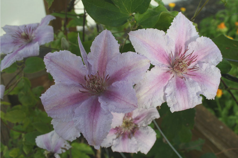 Clematis Marmorie 2
