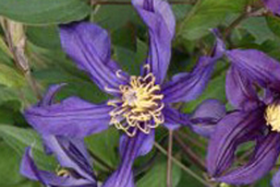 Clematis Div. 'MISSISSIPPI RIVER' (Zomisri)