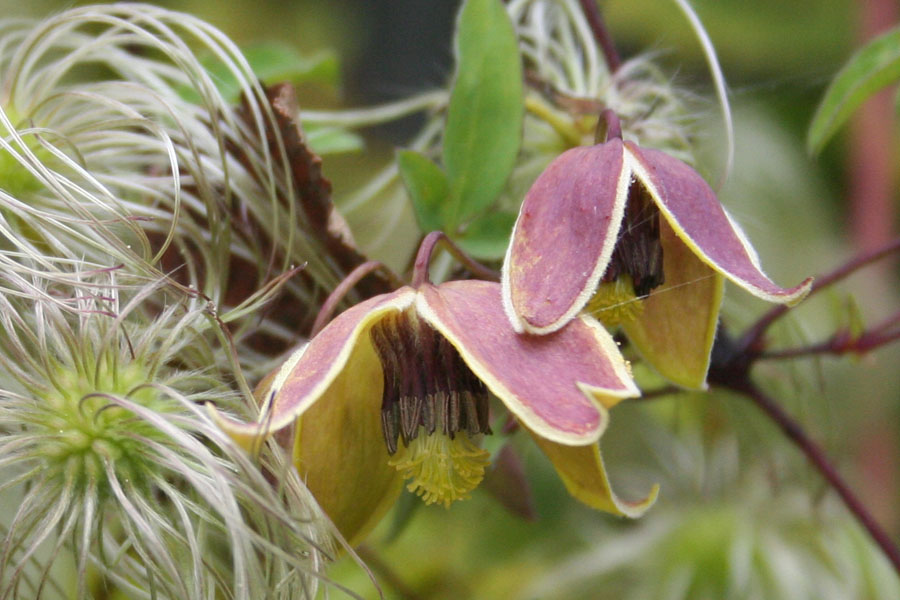 Clematis Tang. 'My Angel'