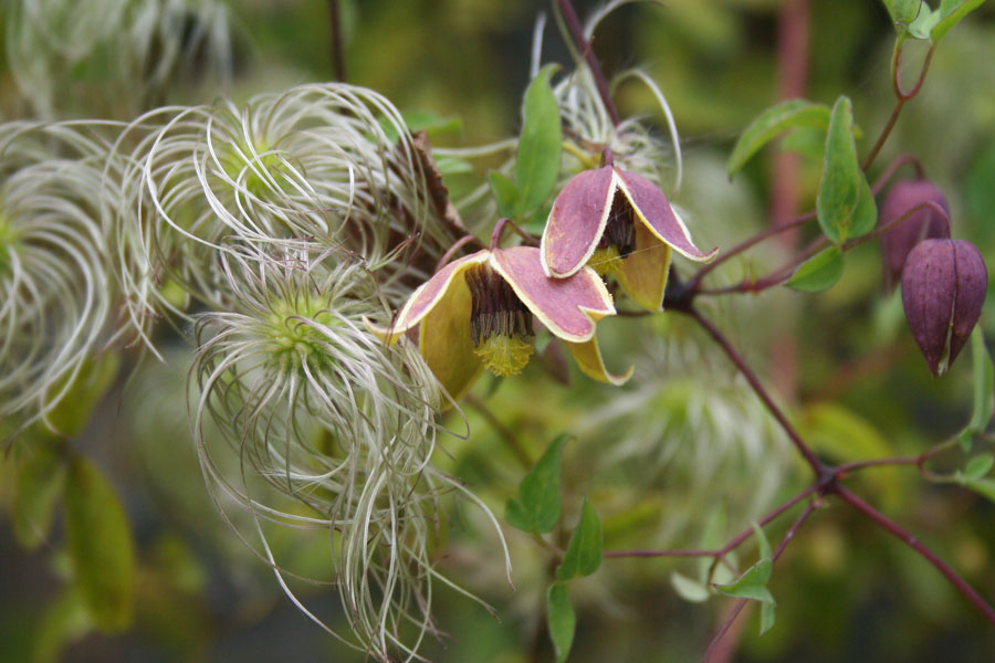 Clematis My Angel 2