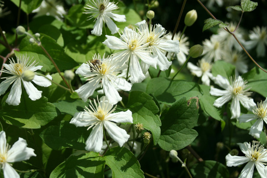 Clematis Paul Farges 2