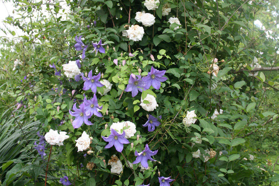 Clematis Prince Charles 2