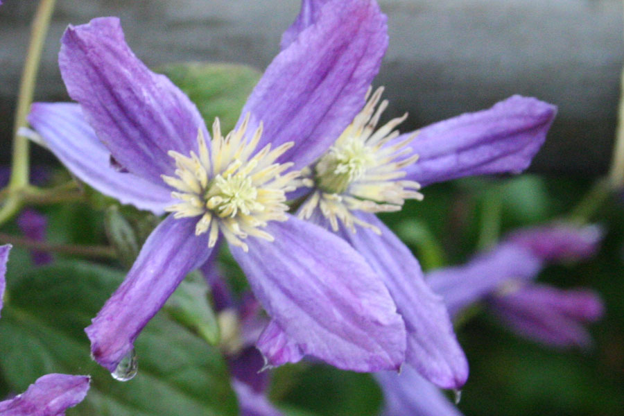 Clematis Div.'Queen Of Holland'