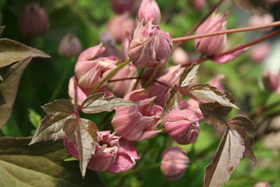 Clematis Rosebud 2