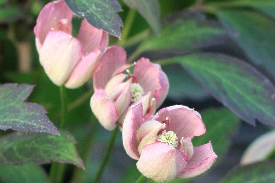 Clematis Montana 'Rosebud'