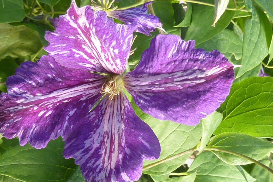 Clematis TieDye 2
