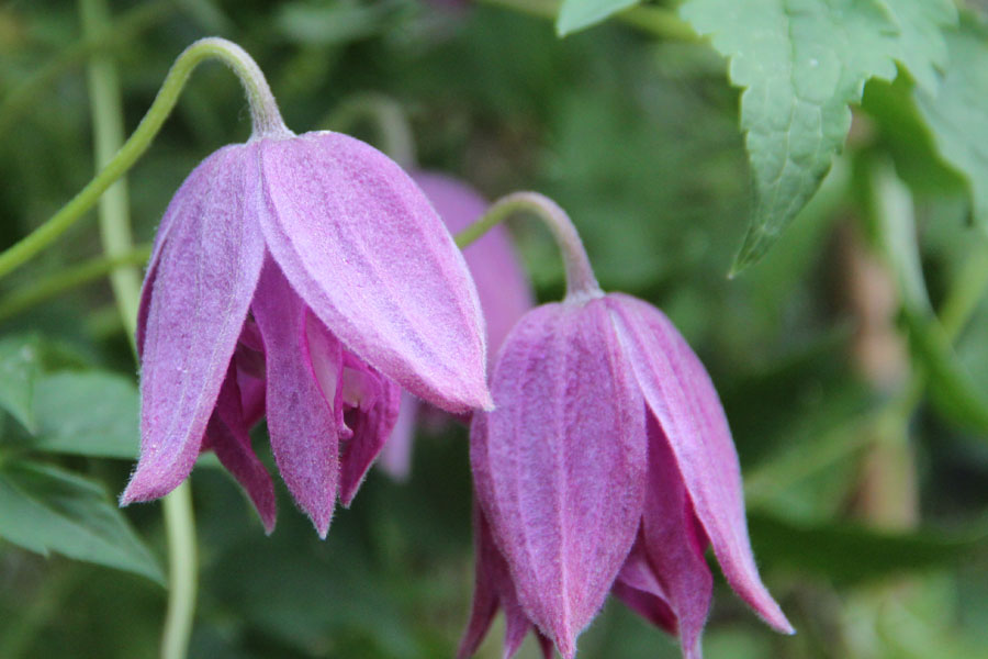 Clematis Try Me 2