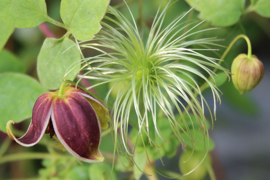 Clematis Vince Denny 2