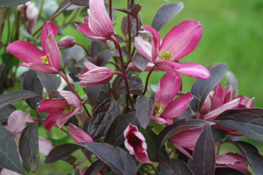 Clematis Warwickshire Rose 2