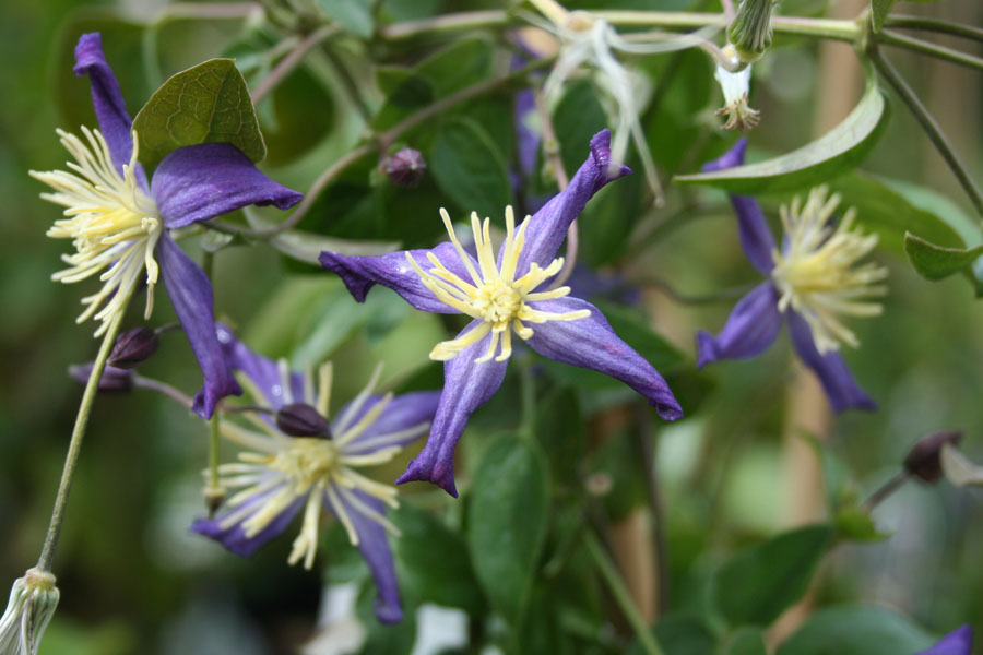 Clematis Aromatica 2