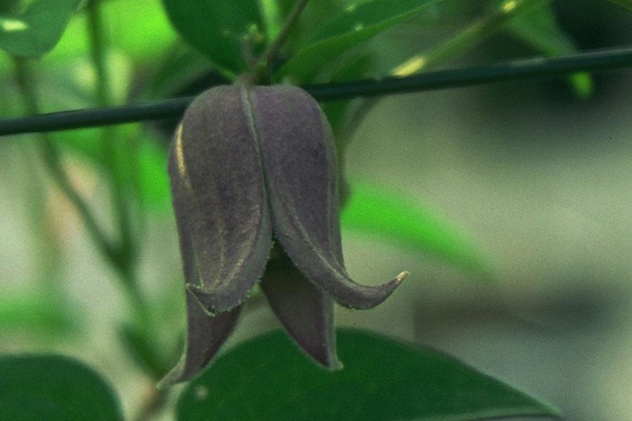 Clematis Fusca Violacea 2