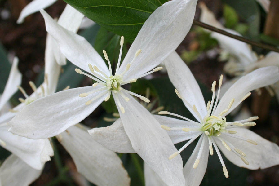 Clematis Arm. 'Little White Charm'