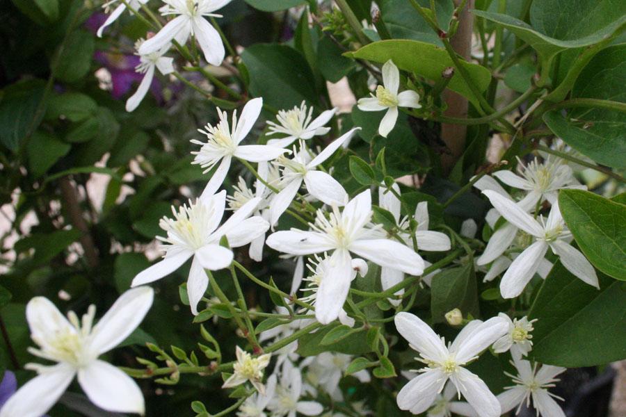 Clematis Terniflora 2