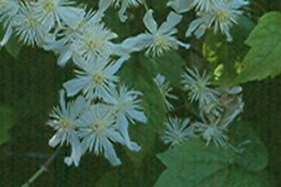 Clematis Trichotoma