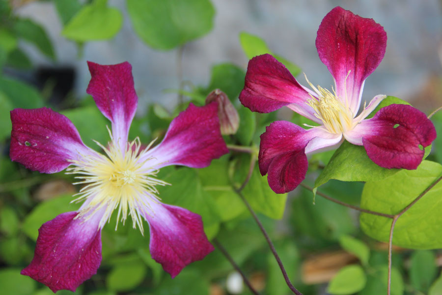 Clematis Tex. 'Ruby Wedding'