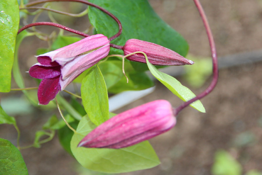 Clematis Ruby Wedding 2