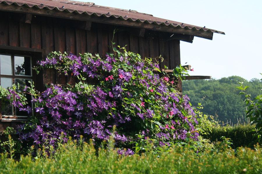 Beispiel: Clematis Viticella Am Gartenhaus