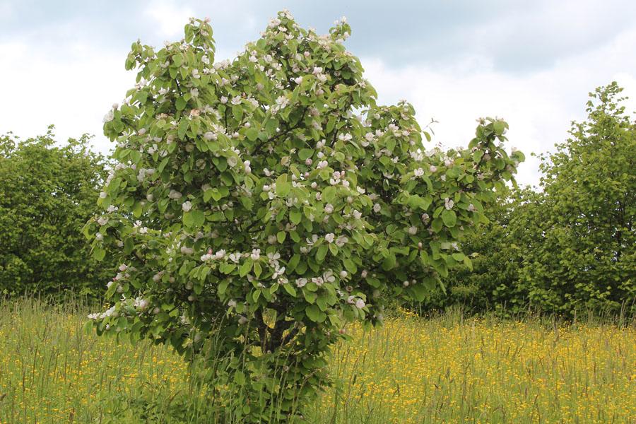 Beispiel: Quittenbaum In Voller Blüte