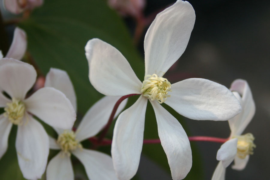 Clematis Arm. 'Apple Blossom'