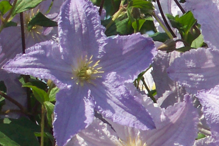 Clematis Viticella 'Blue Angel'