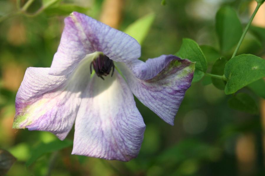 Clematis Viticella 'Caerulea Luxurians'