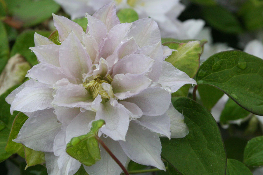 Clematis 'DANCING QUEEN' (Zodaque)