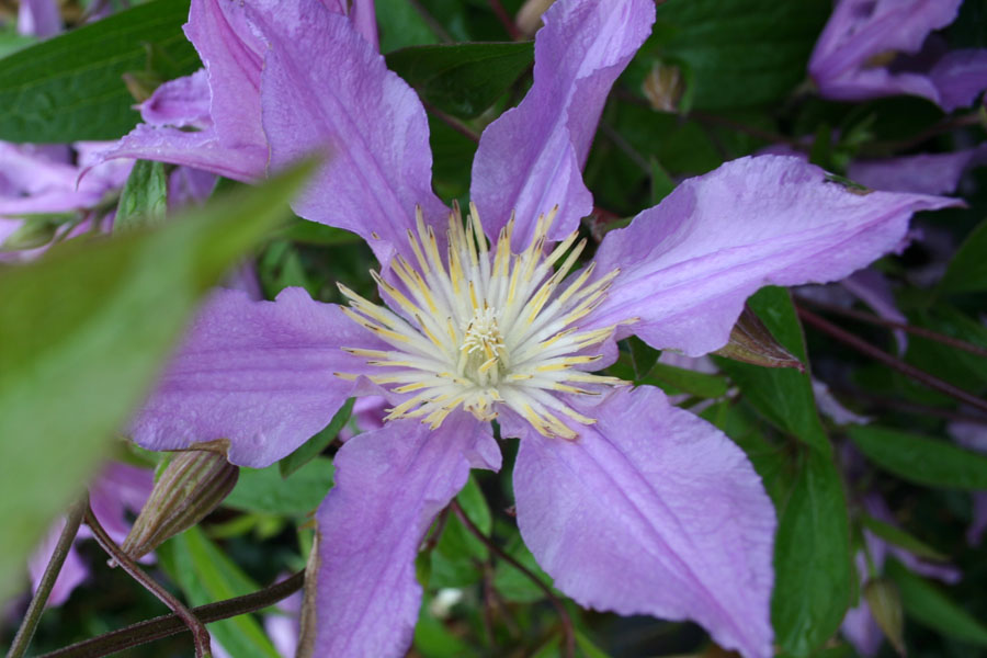 Clematis Div. 'EAST RIVER' (Zoeastri)