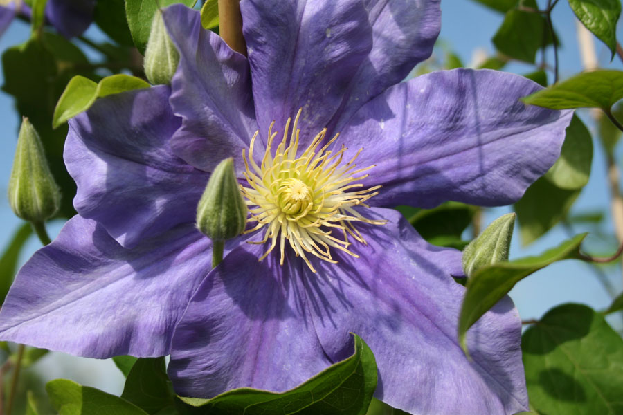Clematis 'H.F.Young'