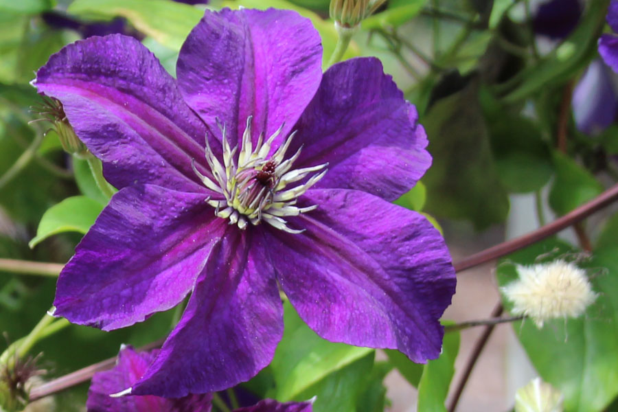Clematis  'HAPPY BIRTHDAY' (Zohapbi)