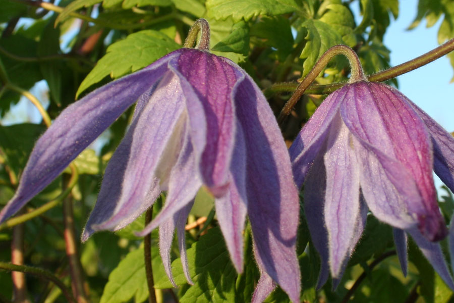 Clematis Macropetala 'Maidwell Hall'