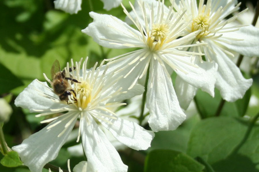 Clematis Fargesii  'Paul Farges'